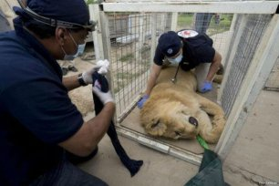 Image of Lula the bear sleeping as she receives medical treatment [Four Paws UK]