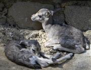 USAK, TURKEY - Twin gazelles are seen at Usak Municipality Akse Zoo in Turkey.