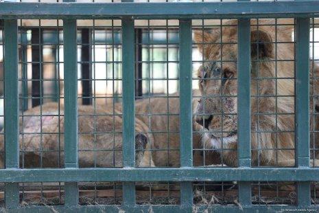 A lion is seen in a cage in a zoo in Turkey on 26 July, 2017. [Ali Atmaca/Anadolu Agency]