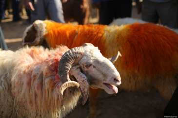 Sacrificial sheep at a livestock market set up for the Muslims' sacrificial festival Eid al-Adha in Eastern Ghouta which has been under Bashar al-Assad regime's blockade for 6 years, in Damascus, Syria on 31 August, 2017 [Anas Damashqy/Anadolu Agency]