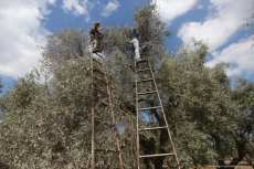 Palestinian workers pick ripe olives in Gaza [Mohammed Asad/Middle East Monitor]