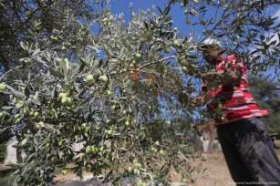 Palestinian worker picks ripe olives in Gaza [Mohammed Asad/Middle East Monitor]