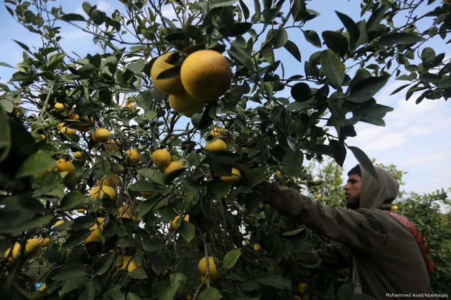 A Palestinian farmer harvests citrus fruits in Gaza city on 10 January 2018 [Mohammed Asad/Apaimages]