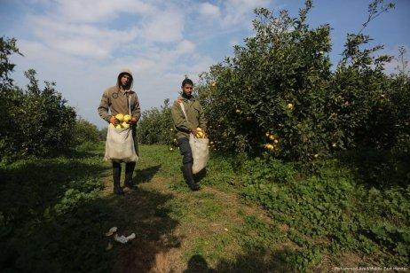 Farmers begin to harvest citrus fruit in Gaza [Mohammed Asad/Middle East Monitor]