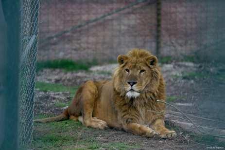A male lion, named 'King' can be seen at the Karatay Municipality Zoo in Konya, Turkey on 21 February 2018 [Abdullah Coşkun/Anadolu Agency]