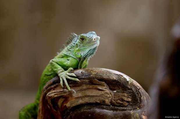 A Brazilian iguana can be seen at the Karatay Municipality Zoo in Konya, Turkey on February 21, 2018 [Abdullah Coşkun/Anadolu Agency]
