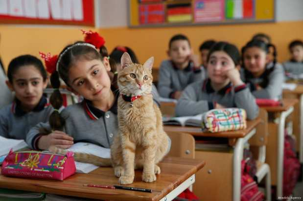 'Tombi' known as the classroom cat in a primary school in Izmir, Turkey [Evren Atalay/Anadolu Agency]