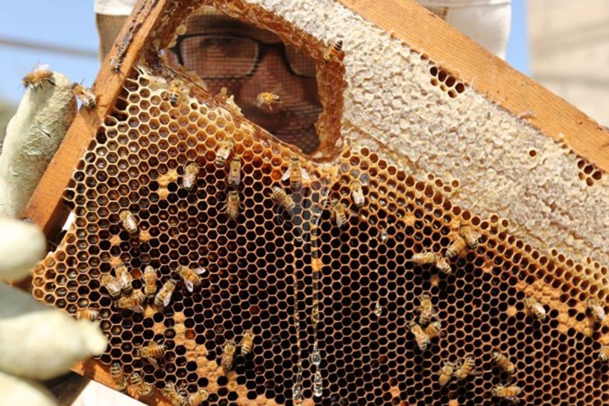 Honey production in Gaza [Alwatanvoice]