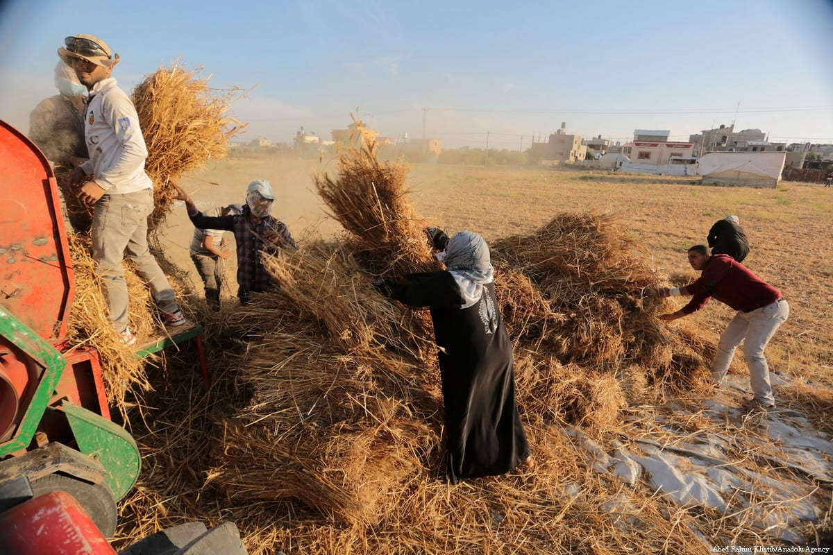 Palestinian farmers separate wheat and straw bundles as they work on a farm land in Gaza City, Gaza on 16 May 2018 [Abed Rahim Khatib/Anadolu Agency]