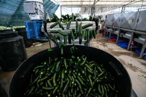 Jalapeno peppers are gathered following their cleansing process at a processing plant that is found in Menemen district of in Izmir, Turkey on 3 July, 2018 [Mahmut Serdar Alakuş/Anadolu Agency]