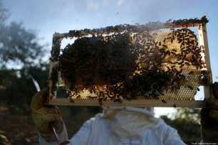 A Palestinian beekeeper inspects a honeycomb before collecting honey at an apiary in Singel village near the West Bank city of Ramallah, on 5 July 2018 [Shadi Hatem/Apaimages]