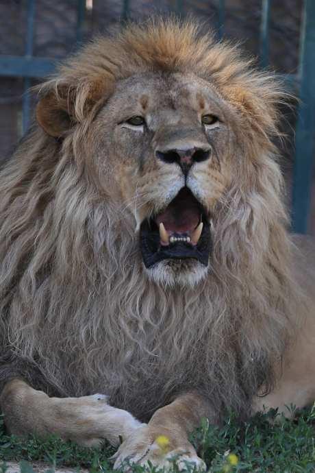 A lion is seen at Metropolitan Municipality Zoo of Kayseri province in Turkey on 30 July, 2018 [Sercan Küçükşahin/Anadolu Agency]