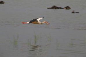 A stork flies after catching a fish from the Kizilirmak Delta Bird Sanctuary, which is in the tentative list of UNESCO in Samsun, Turkey on 26 July, 2018 [Mehmet Kumcağız/Anadolu Agency]