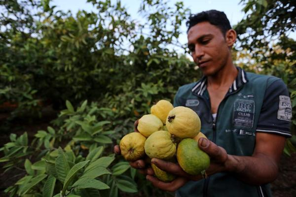A Palestinian man collects a fruit from guava at the start of the annual harvest season, in Khan Yunis in the southern of Gaza Strip on 30 August, 2018 [Ashraf Amra/Apaimages]