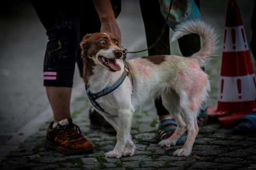 "A dog is covered in colourful powder at the ""Color Sky 5k"" running fest. 30 September, 2018 [Sergen Sezgin/Anadolu Agency]"