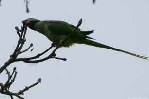 There are 5 known subspecies of the Alexandrine Parakeet, and they live in usually warm countries like Indian subcontinent and surrounding areas, the Andaman islands, and Thailand. Istanbul, 20 November 2018 [Berk Özkan/Anadolu Agency]