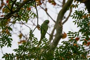 This beautiful green Alexandrine parakeet can be seen amongst the trees Istanbul, 20 November 2018 [Berk Özkan/Anadolu Agency]