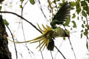 """The Alexandrine parakeet was first described by French zoologist Mathurin Jacques Brisson as Psittaca Ginginiana or """"La Perruche de Gingi"""" (The Gingi's Parakeet) in 1760 Istanbul, 20 November 2018 [Berk Özkan/Anadolu Agency]"""