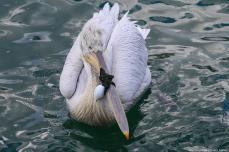 A pelican is seen with pieces of rope that tangled its beak in Izmir, Turkey on 12 December 2018 [Emin Mengüarslan/Anadolu Agency]