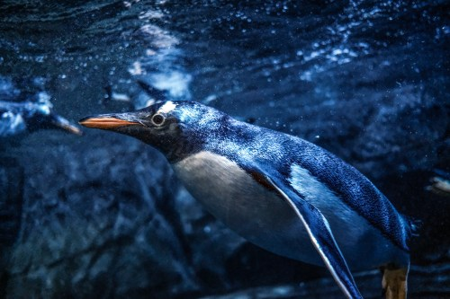 Gentoo penguins which are brought from Valencia's L'Oceanografic, are seen at Istanbul Aquarium, the biggest thematic aquarium of the world, in Istanbul, Turkey on 16 January 2019 [Metin Pala/Anadolu Agency]
