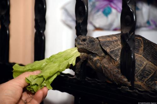 "A turtle named ""Cuma"", found trapped in a bag tied to its' mouth tied and rescued by Numan Pekdemir and his wife, eats food in Mugla, Turkey on 8 February, 2019 10-year-old Cuma stays in the couples garden during summer and in the balcony during winter. [Ali Ballı - Anadolu Agency]"