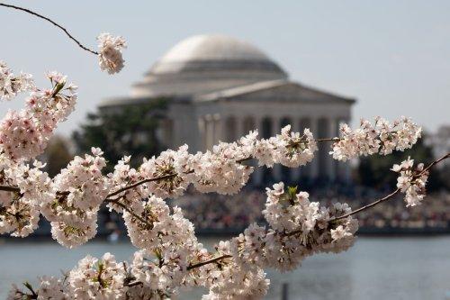 Cherry trees are in full bloom [Yasin Öztürk/Anadolu Agency ]