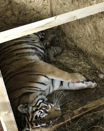 Mother Bengal tiger lies with her new born three cubs at the Lion Park of Tuzla Viaport Marina in Istanbul, Turkey on 15 May 2019. Three cubs were born on Sunday, May 12th. [Salih Zeki Fazlıoğlu/Anadolu Agency]