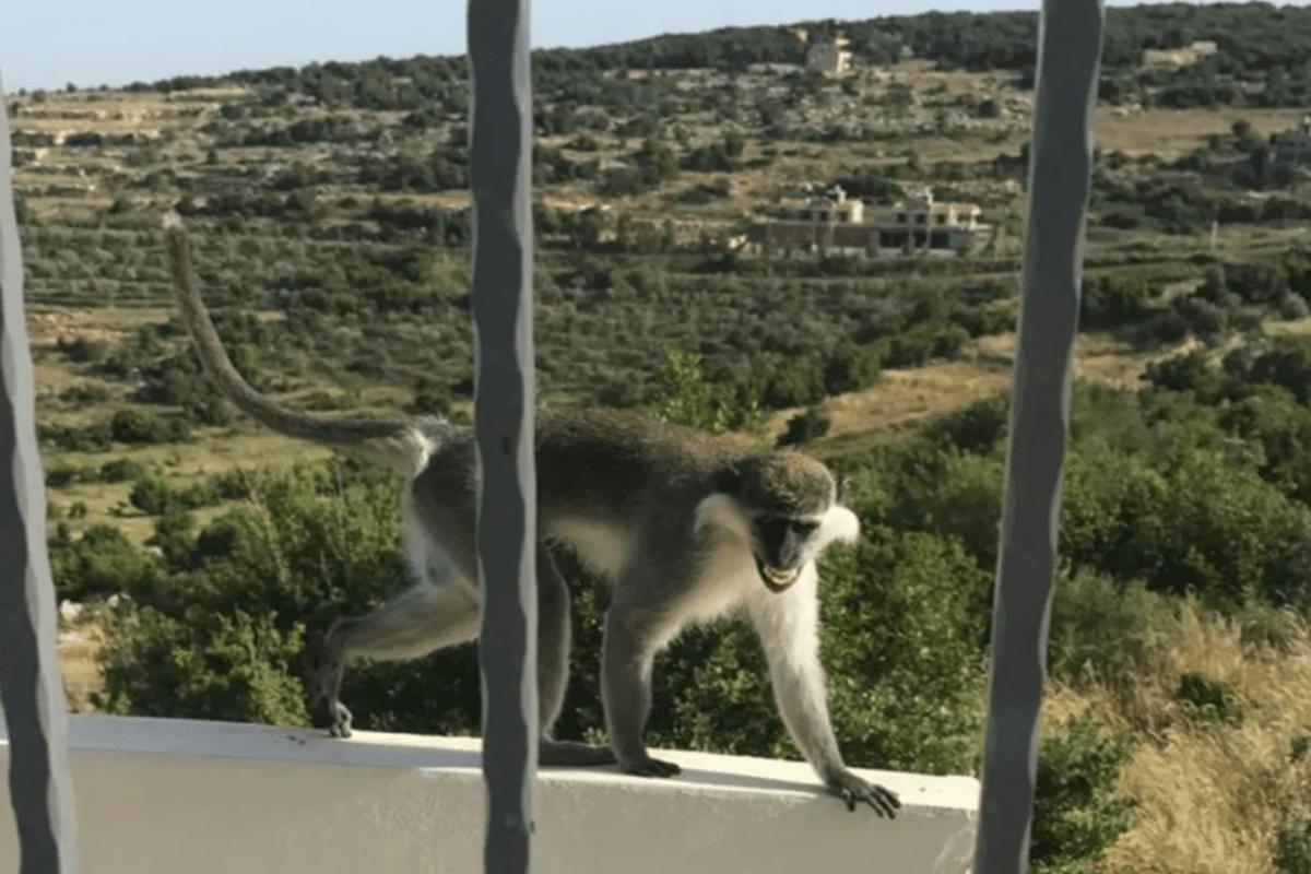 Lebanese Monkey Escapes Nun's Farm, Infiltrates Border