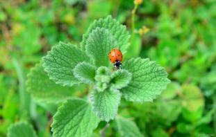 A ladybug sits on a plant during spring season on the highlands of Mount Bulkaz in Turkey's western Usak province 1 June, 2019 [Soner Kılınç/Anadolu Agency]