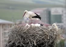 Storks are seen at their nest on a roof in Ardahan, Turkey on 13 June, 2019 [Günay Nuh/Anadolu Agency]