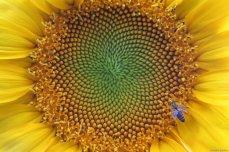Close-up of a honeybee (Apis mellifera carnica) collecting pollens on a yellow sunflower in Van, Turkey on 29 July, 2019 [Özkan Bilgin/Anadolu Agency]