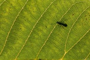 Silhouette of an ant on the other side of a leaf, as the leaf becomes more transparent in the sun in Van, Turkey on 29 July, 2019 [Özkan Bilgin/Anadolu Agency]