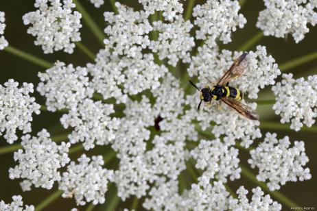 VAN, TURKEY - JULY 29 : Close-up of a wasp flying around white flowers in Van, Turkey on July 29, 2019. ( Özkan Bilgin - Anadolu Agency )