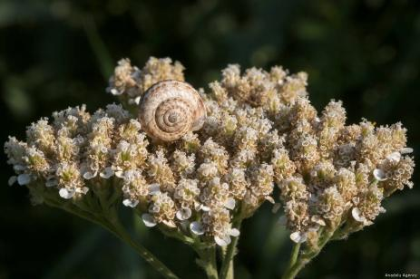 VAN, TURKEY - JULY 29 : A snail sits on a flower in Van, Turkey on July 29, 2019. ( Özkan Bilgin - Anadolu Agency )