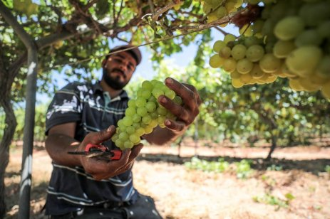 Palestinian farmers harvest grapes in Gaza on 4 July 2019 [Mustafa Hassona/Anadolu Agency]