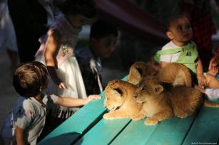 3 newly born lion cubs play at a zoo in Gaza on 11 September 2019 [Ashraf Amra/Apaimages]