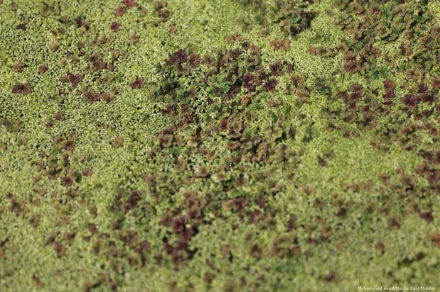 A Palestinian farmer in Gaza has successfully created Azolla ferns which enables him to feed his animals without paying the high price for imported fodder [Mohammed Asad/Middle East Monitor]