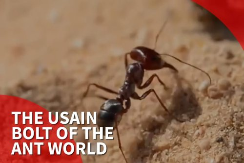 Thumbnail - The Usain Bolt of the ant world