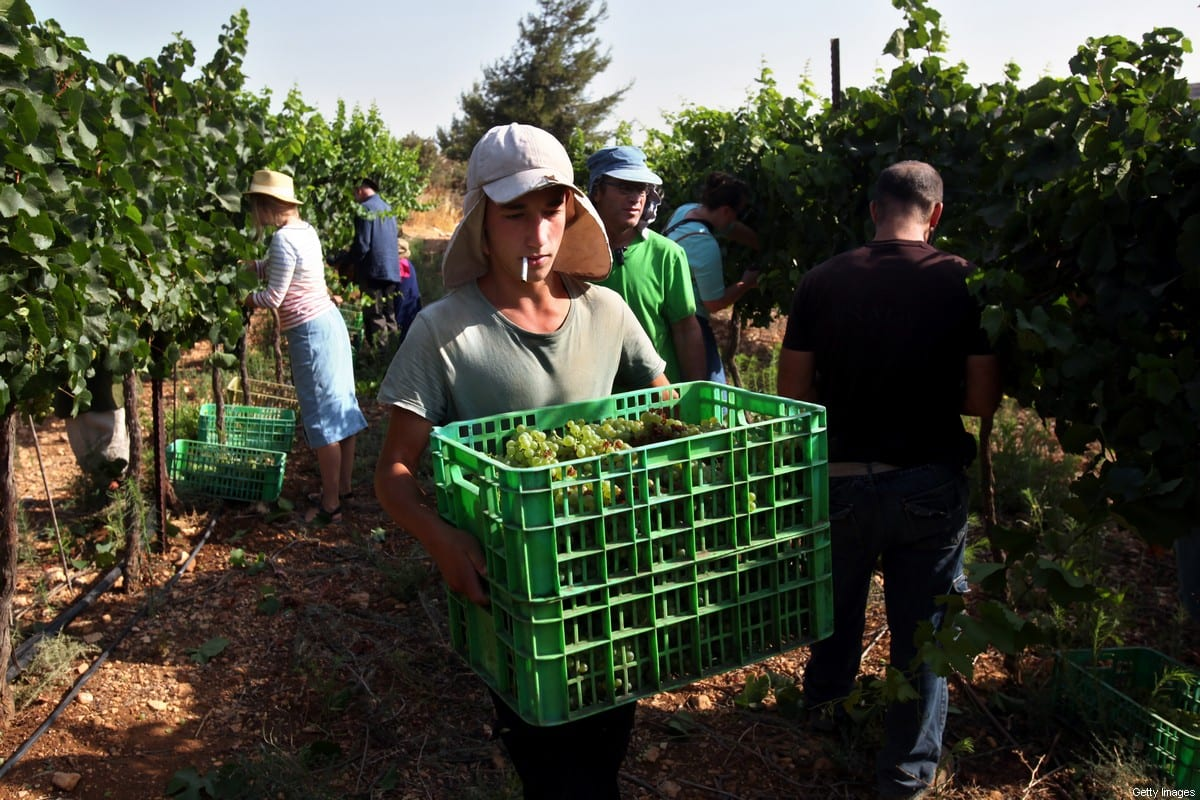 Evangelical Christian volunteers harvest Chardonnay grapes for Psagot Winery in a vineyard on July 24, 2017 in the illegal Israeli settlement of Psagot in the West Bank, Palestine [David Silverman/Getty Images]