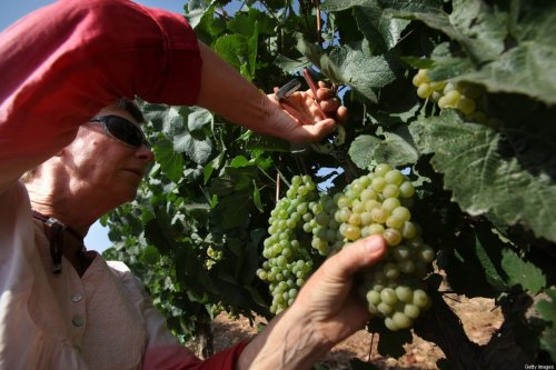 PSAGOT, WEST BANK - JULY 24: Evangelical Christian volunteers harvest Chardonnay grapes for Psagot Winery in a vineyard on July 24, 2017 in the Israeli settlement of Psagot in the West Bank. In a trend that started in recent years, Israeli wineries have begun to harvest earlier in the season, a move winemakers attribute to record-hitting hot summer months causing their grapes to ripen sooner. Some wineries harvest at night in order to preserve the freshness of the grapes while others harvest at dawn and rush the grapes to the winery before they are warmed by the hot summer days. (Photo by David Silverman/Getty Images)