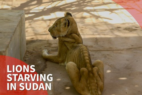 Thumbnail - Lions starving in Sudan