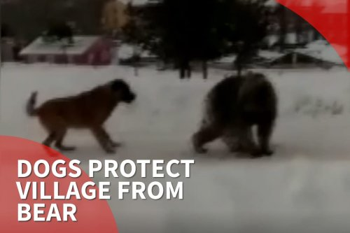 Thumbnail: Dogs protecting their village by deterring a bear