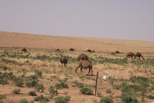 A group of camels by the Timimi-Charruba road in Libya [Wikipedia]