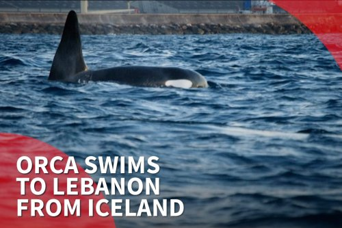 thumbnail - Orca swims to Lebanon from Iceland