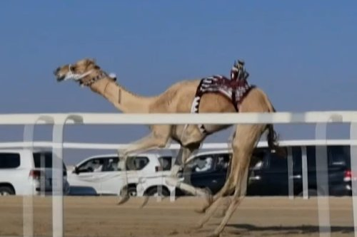 Robot jockeys saddle up for Qatar camel race