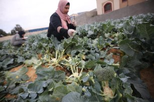 Two women in Gaza have taken to agriculture to harvest broccoli for sale in the local market in an effort to overcome the besieged enclave's rising poverty levels [Mohmmad Asad/Middle East Monitor]