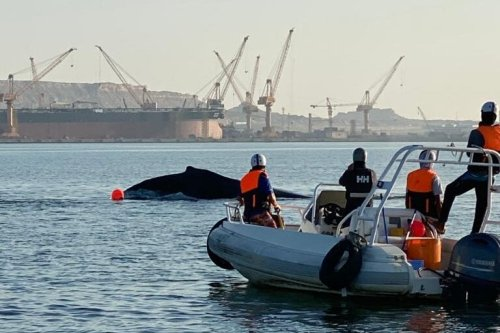 An endangered Arabian Sea humpback whale has been rescued after being stranded off the coast of Oman's Port of Duqm late last month [@portofduqm/Twitter]