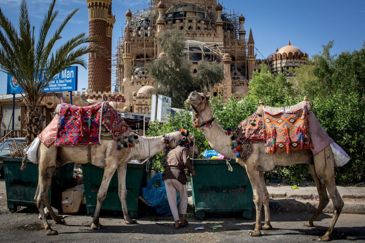 Camels used to give tourist rides in the Old Market district on April 3, 2016 in Sharm El Sheikh, Egypt [Chris McGrath/Getty Images]