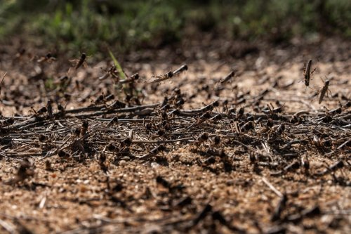 Locusts gather on the ground in Kenya on 22 May 2020 [Fredrik Lerneryd/Getty Images]