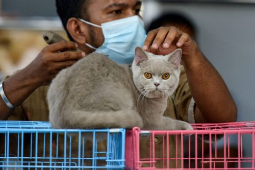 A man brushes a cat on February 28, 2021 [CHAIDEER MAHYUDDIN/AFP via Getty Images]